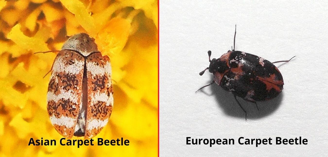 Asian and European Carpet Beetles